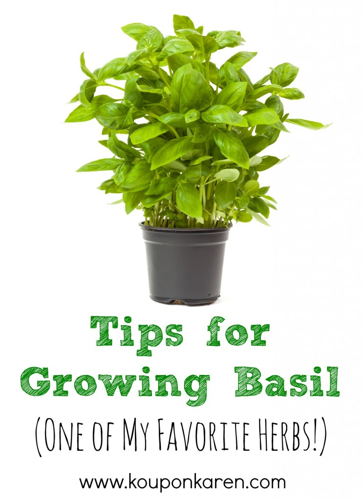 Tips for Growing Basil {One of my Favorite Herbs}