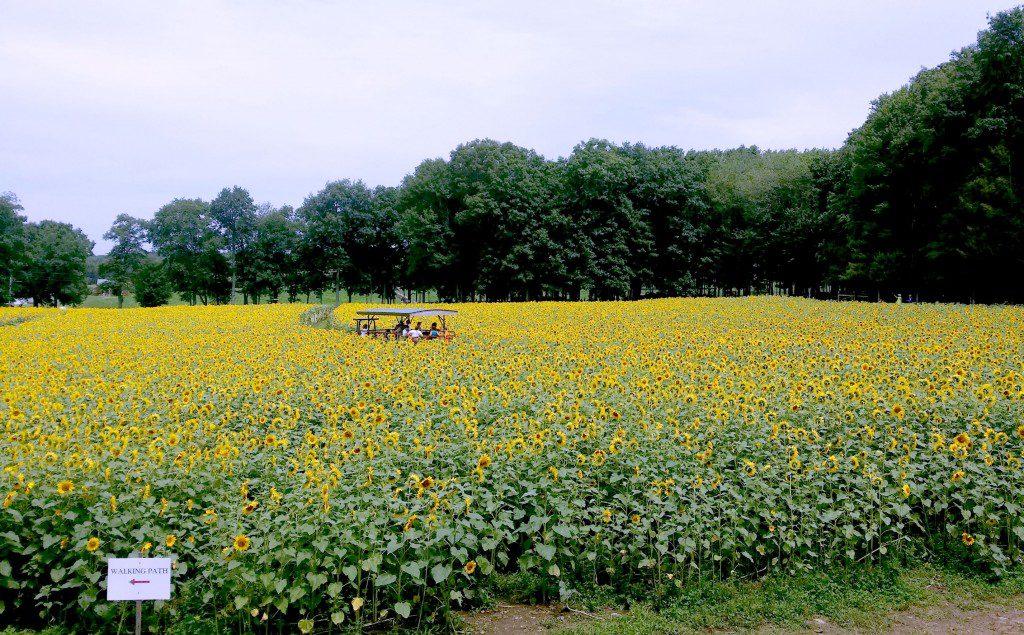 Sunflowers 8
